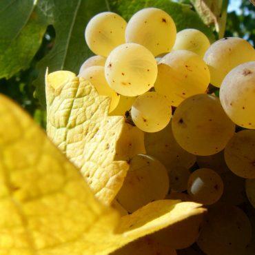 Raisins d'Alsace © Fotolia